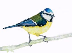 Blue tit in aquarel