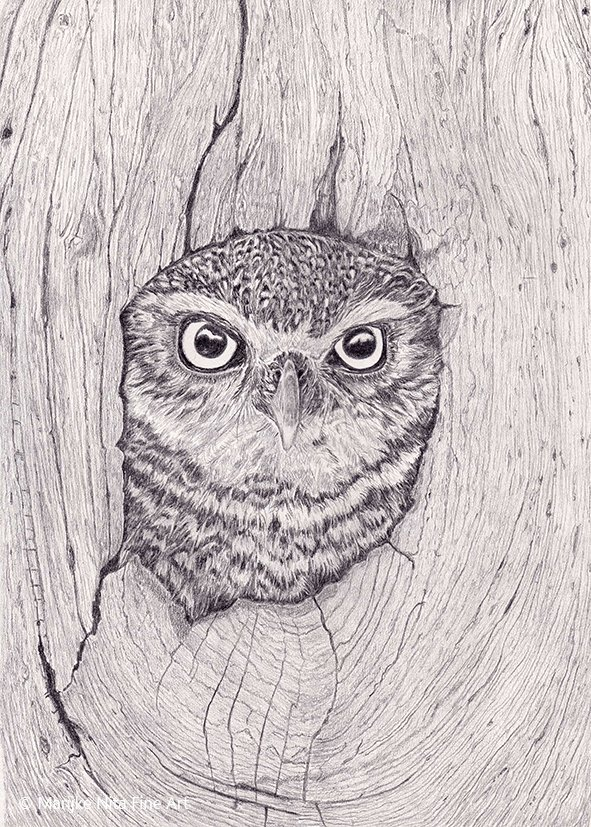 Little Owl in graphite