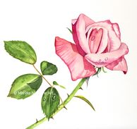 Rose in aquarel