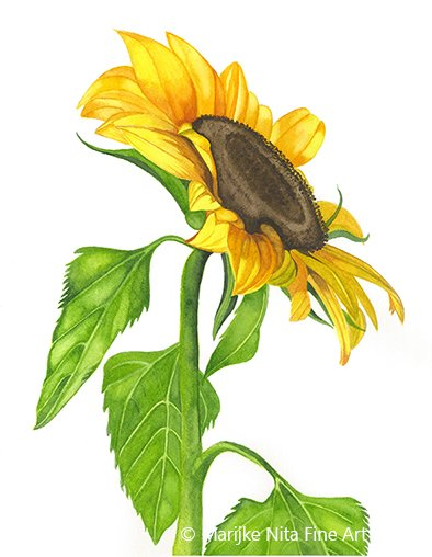 Sunflower in aquarel