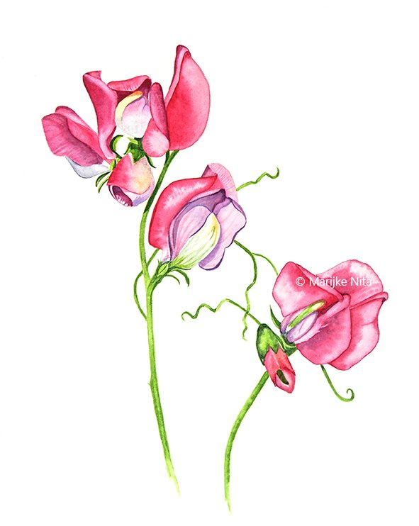 Sweet peas in aquarel