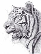 Tiger in graphite