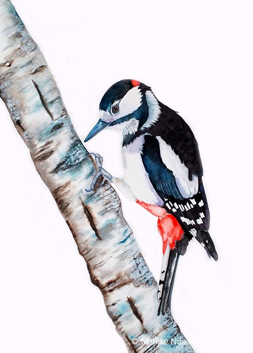 Great spotted woodpecker in aquarel