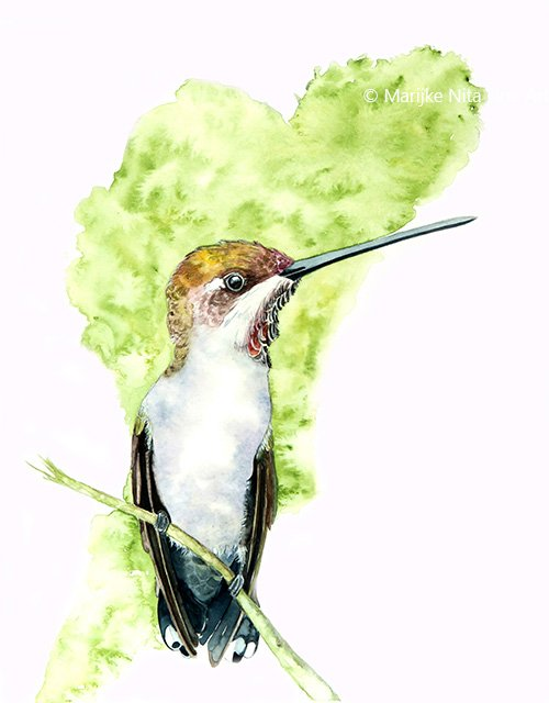 Hummingbird in aquarel