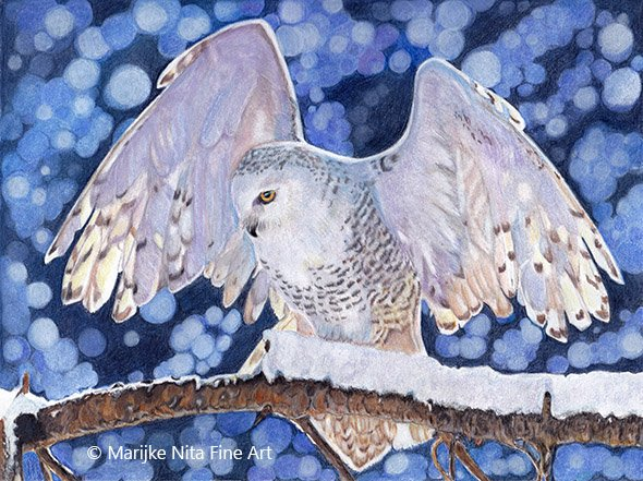 Snowy owl in colour pencil